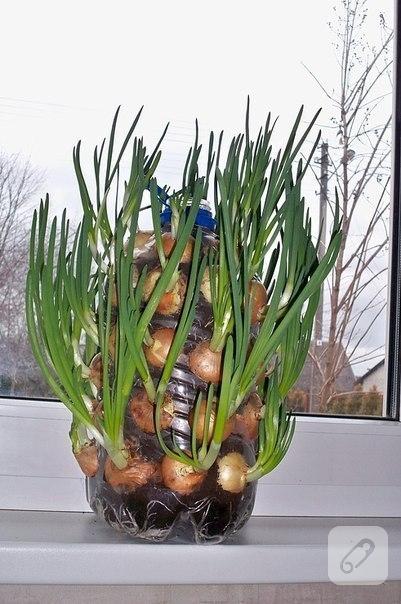 Pet şişede taze soğan yetiştirmek