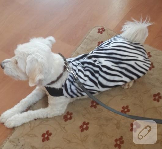 Zebra desenli köpek kıyafeti